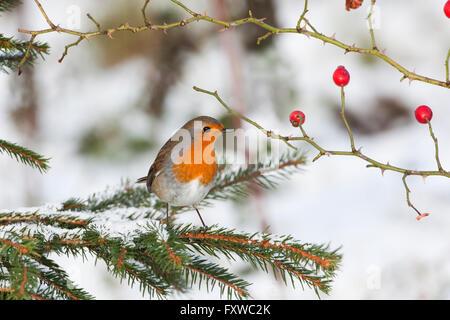Erithacus rubecula aux abords perché sur l'églantier dans la neige Banque D'Images