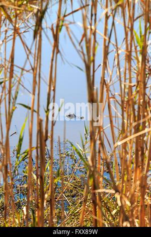 Petit Alligator mississippiensis (alligator) nage dans marais près de Lake Charles, LA. Banque D'Images