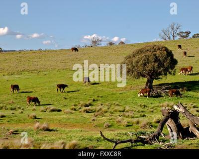 Australie: le pâturage du bétail, des montagnes enneigées, EN IN