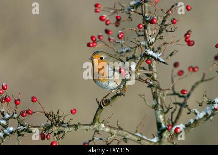 Erithacus rubecula aux abords en hiver perché sur les baies d'aubépine Banque D'Images