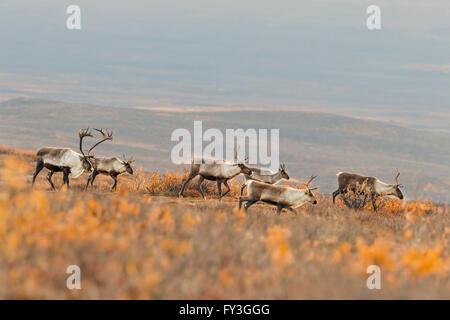 Un caribou mâle suit son harem dans la toundra de l'Alaska pendant l'automne de l'ornière. Banque D'Images