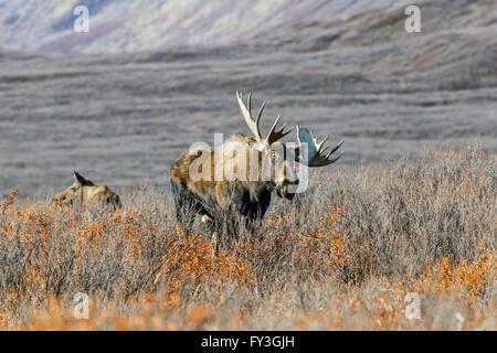Bull Moose se nourrir dans la toundra à distance dans les montagnes de l'Alaska pendant l'automne de l'Ornière