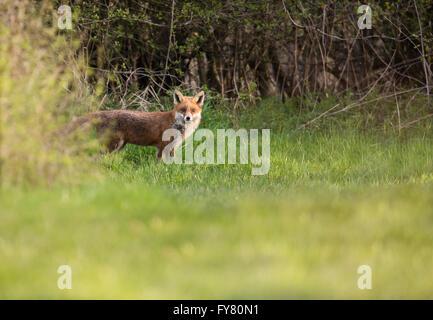 Un chien rouge sauvage fox (Vulpes vulpes) apparaît dans la tanière du soleil du soir