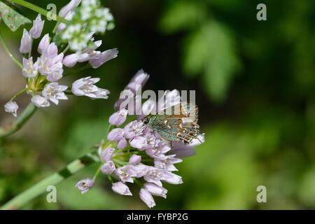 Papillon Porte-queue Juniper