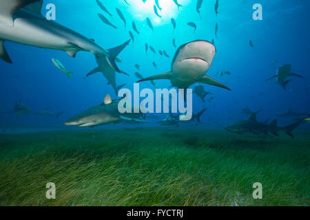 Requins citrons, Negaprion brevirostris, natation sur les herbiers, France Banque D'Images