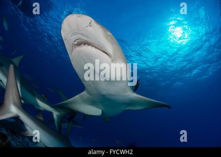 Le requin, Negaprion brevirostris, Bahamas Banque D'Images