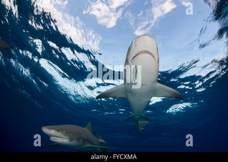 Le requin, Negaprion brevirostris, dessous, Bahamas Banque D'Images