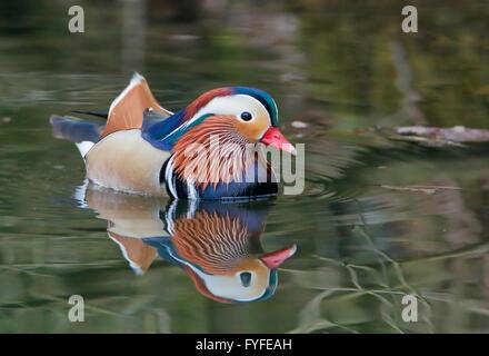 Canard mandarin (Aix galericulata) masculin natation dans l'eau avec la réflexion