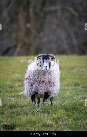 Shot verticale de swaledale brebis femelle mouton dans un champ. Elle est à la direction de l'appareil photo Banque D'Images