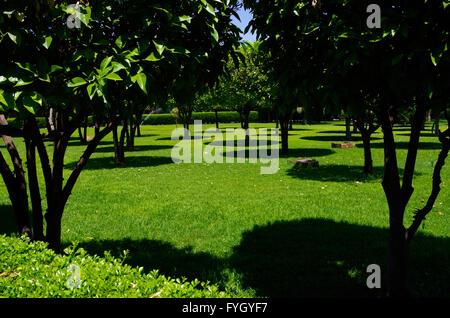 Les arbres Citrus casting shadows rond sur l'herbe dans la lumière de midi Banque D'Images