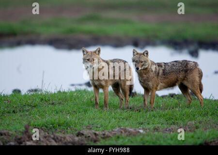 Le chacal doré (Canis aureus), également appelé l'asiatic, oriental ou chacal commun, photographié dans la vallée de Hula, Israël