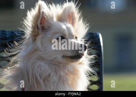 Pomeranian blanc Banque D'Images
