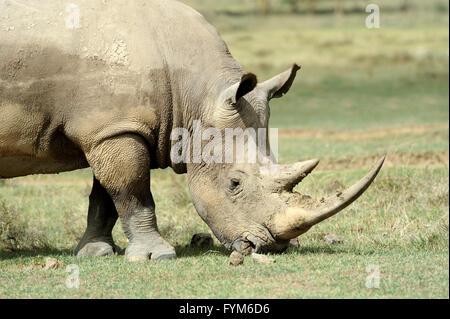 Le rhinocéros blanc d'Afrique, le lac Nakuru, Kenya Banque D'Images