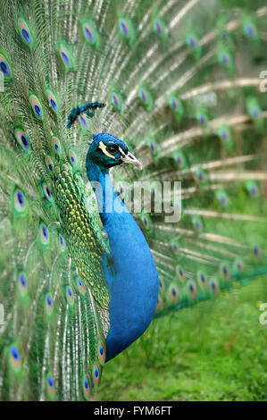 Portrait de belles plumes de paon avec