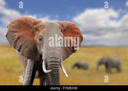 Sur l'éléphant d'Afrique de savane, parc national du Kenya Banque D'Images