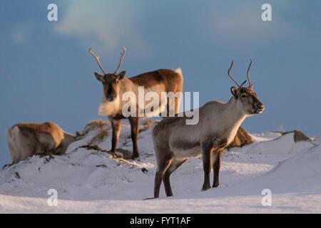 Trois renne (Rangifer tarandus) de nourriture dans la neige paysage d'hiver, l'Islande Banque D'Images