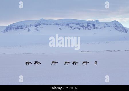 Le renne (Rangifer tarandus) troupeau de nourriture dans la neige paysage d'hiver, l'Islande Banque D'Images
