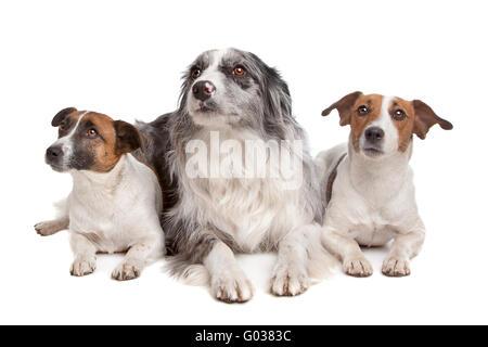 Deux chiens de terrier Jack Russel et un border collie Banque D'Images