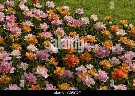 Tulipes doubles début février 2012 et 'Willem van Banque D'Images