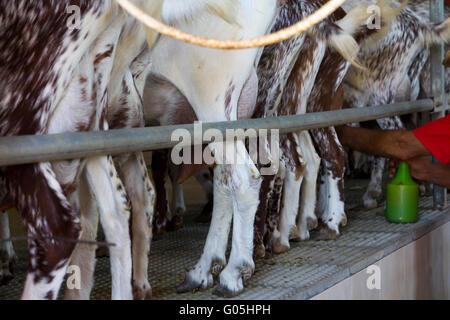 Les installations de traite de chèvres dans une ferme, de l'élevage Banque D'Images