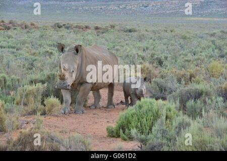 Le rhinocéros et le veau à la Western Cape en Afrique du Sud Banque D'Images