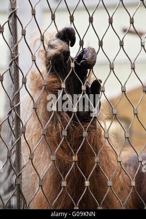 Part d'un gorille au zoo, Dortmund, Allemagne. Banque D'Images