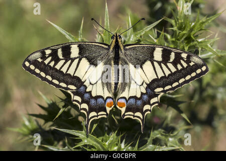 Papilio machaon, Swallowtail butterfly à partir de l'Europe