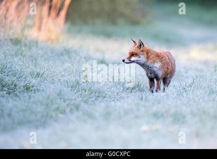 Un chien rouge sauvage fox (Vulpes vulpes) sur un matin glacial au début du printemps dans le Warwickshire