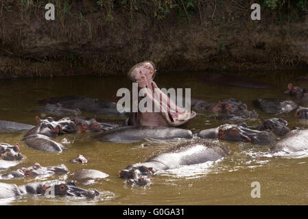 Le bâillement Hippopotamus amphibius Banque D'Images