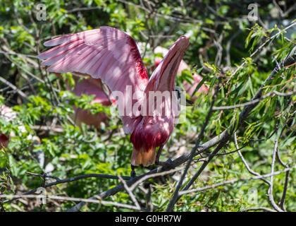 Une Spatule rosée (Platalea ajaja) est posé sur une branche à la rookerie. Île haute, Texas, USA. Banque D'Images