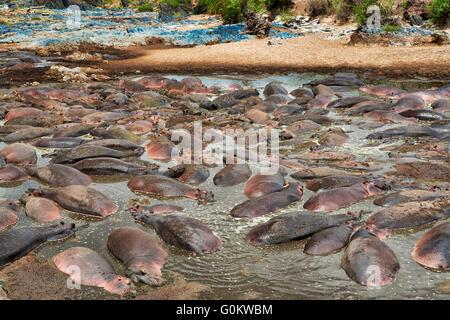 D'énormes quantité d'Hippopotame (Hippopotamus amphibius) dans le célèbre Hippo-Pool de Parc National de Serengeti, Banque D'Images