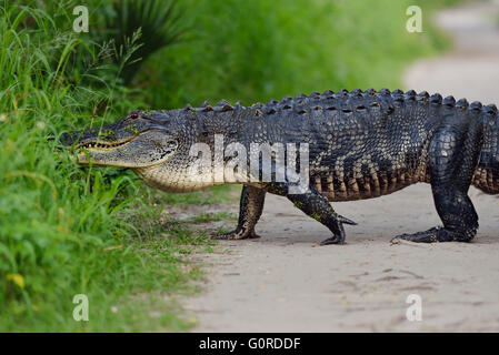 Grand Alligator Floride sur un sentier Banque D'Images