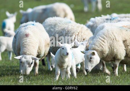 27/04/2016, les brebis et les agneaux paissant dans un champ à Kirkhill ferme, Caithness, en Écosse. Banque D'Images