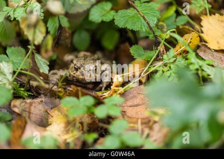 Grenouille rousse Rana temporaria dans la litière Banque D'Images