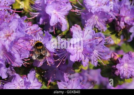 Bumblebee sur azalea Banque D'Images