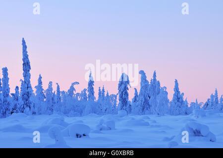 Les Épinettes couvertes de neige au crépuscule en hiver, Nissi, Kuusamo, Finlande, Nordoesterbotten Banque D'Images