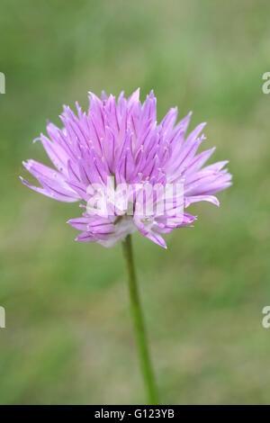 Allium schoenoprasum, ciboulette, fleur herbe pourpre simple objet, fond vert Banque D'Images