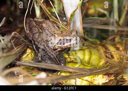 Anglais Common frog Rana temporaria dans un étang de jardin