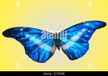 Papillon Morpho Helena. Banque D'Images