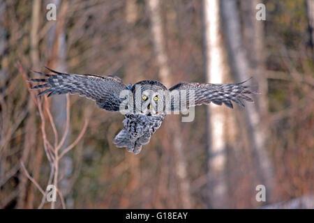 Chouette lapone en vol, chasse Banque D'Images