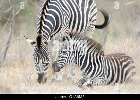 Zèbre des plaines (Equus quagga) juvenile couché avec la mère, Kruger National Park, Afrique du Sud Banque D'Images