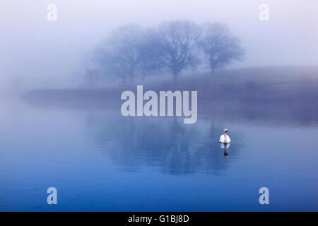 Cygne muet dans la brume matinale et arbres se reflétant dans un lac Banque D'Images
