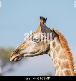 Un côté tête portrait d'une girafe dans la province de Northern Cape, Afrique du Sud Banque D'Images