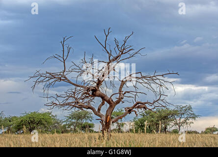 Le ciel s'assombrit en tant qu'approches tempête derrière un arbre épineux de chameaux morts dans le sud de la savane Banque D'Images