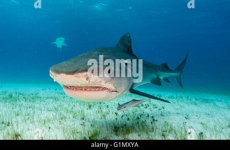 Requin tigre Galeocerdo cuvier, sous-marine, aux Bahamas, Caraïbes Banque D'Images