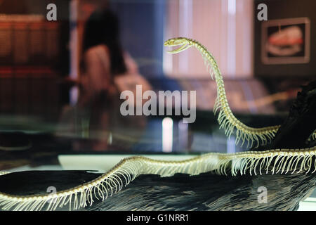 Bangkok, Thaïlande. 17 mai, 2016. Un serpent squelette spécimen est exposé au Queen Saovabha Memorial Institute's snake museum à Bangkok, Thaïlande, le 17 mai 2016. Fondée en 1922, la Reine Saovabha Memorial Institute est un organisme de recherche majeur en Thaïlande qui se spécialise dans la rage et les toxines animales. À l'institute's snake museum, les visiteurs pourront voir des dizaines de non-venimeux serpent venimeux et races ainsi qu'apprendre les traitements d'urgence pour les morsures de serpent. © Li Mangmang/Xinhua/Alamy Live News