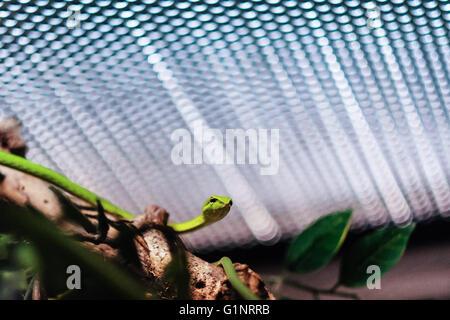 Bangkok, Thaïlande. 17 mai, 2016. Un whip bec long serpent est vu au Queen Saovabha Memorial Institute's snake museum à Bangkok, Thaïlande, le 17 mai 2016. Fondée en 1922, la Reine Saovabha Memorial Institute est un organisme de recherche majeur en Thaïlande qui se spécialise dans la rage et les toxines animales. À l'institute's snake museum, les visiteurs pourront voir des dizaines de non-venimeux serpent venimeux et races ainsi qu'apprendre les traitements d'urgence pour les morsures de serpent. © Li Mangmang/Xinhua/Alamy Live News