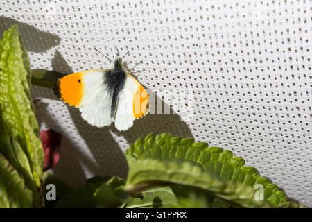 Astuce Orange (mâle), de papillons Anthocharis cardamines, reposant sur un écran solaire de cricket à Durham, Angleterre. Banque D'Images