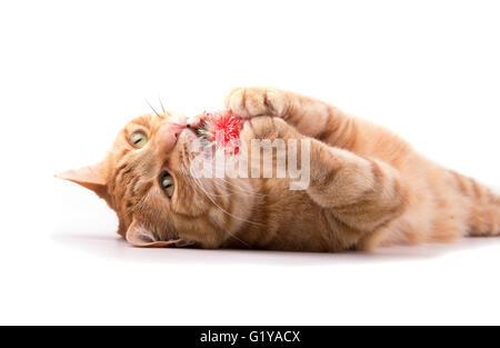 Ginger tabby chat jouant avec une balle rouge, tenant dans ses pattes, mordre il - on white