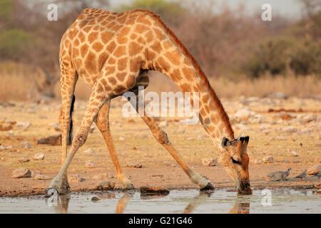 Girafe (Giraffa camelopardalis) eau potable, Etosha National Park, Namibie Banque D'Images
